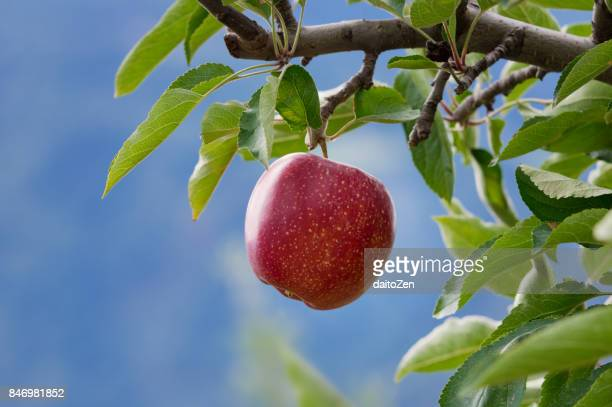 Delicious red apple on tree, Alto Adige, South Tyrol, Italy