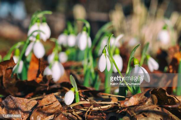 delightful snowdrops (creative breaf - nature) - february background stock pictures, royalty-free photos & images
