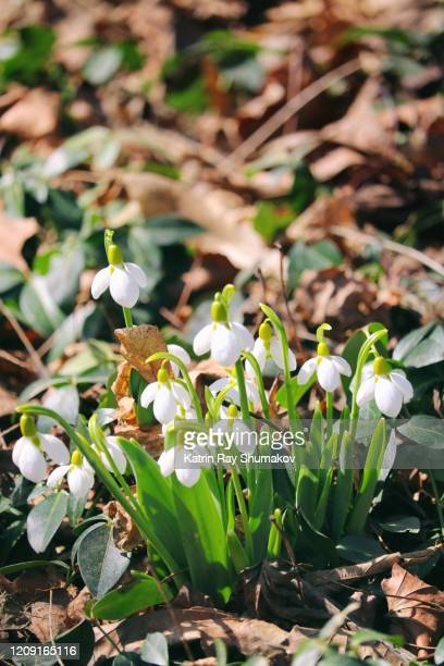 delightful snowdrops - febbraio foto e immagini stock