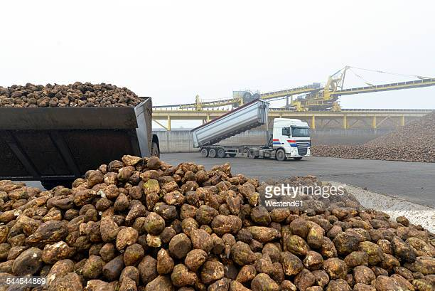Delivery of sugar beets at a sugar mill