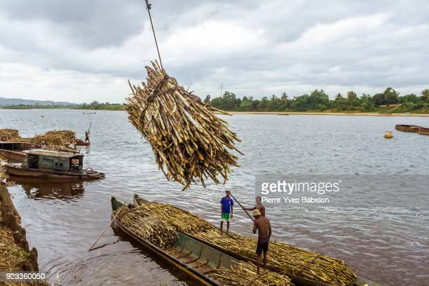 Delivery of sugar cane