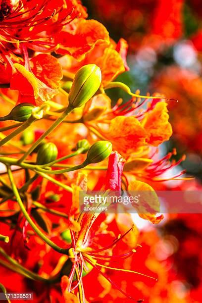 Delonix regia flower - Flamboyan background