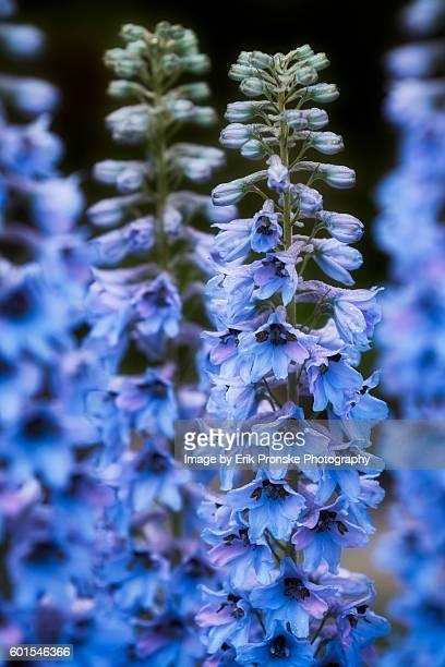 delphinium bloom - delphinium stock pictures, royalty-free photos & images