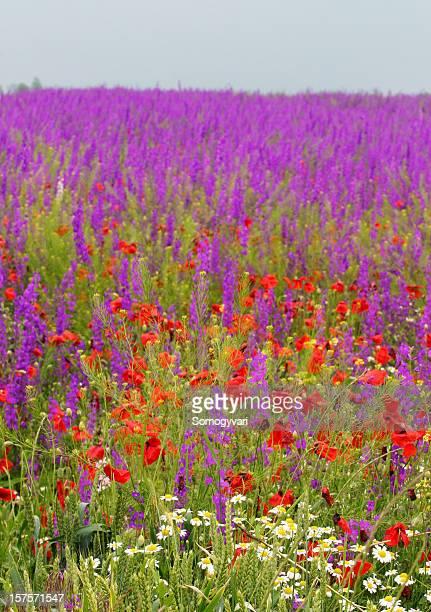 delphinium, camomile, poppy, wheat - delphinium stock pictures, royalty-free photos & images