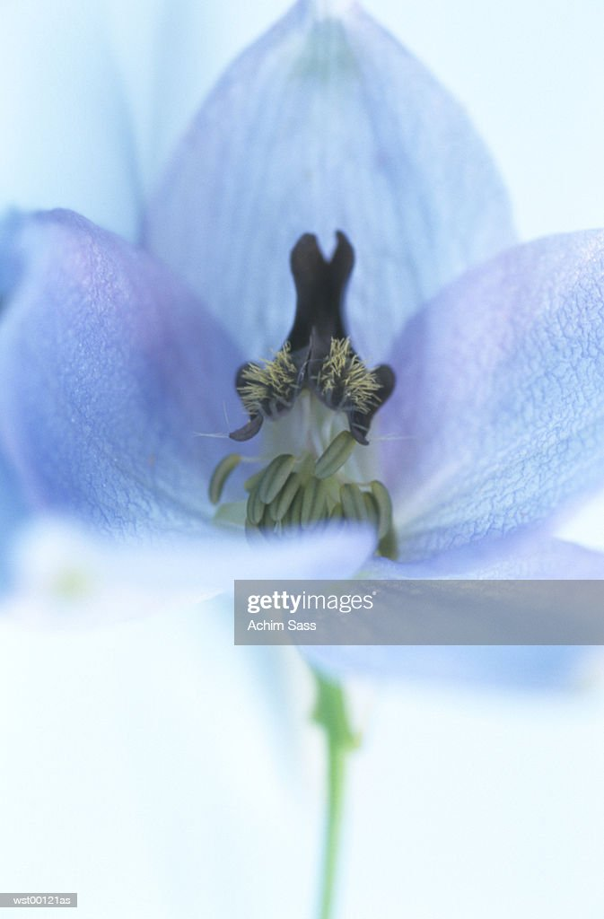 Delphinium, extreme close up : Stock Photo