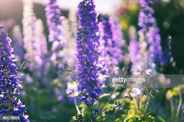 delphinium flowers - delphinium stock pictures, royalty-free photos & images