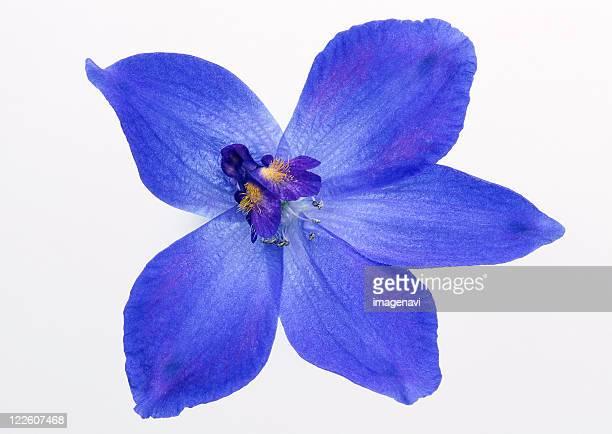 delphinium - delphinium stock pictures, royalty-free photos & images