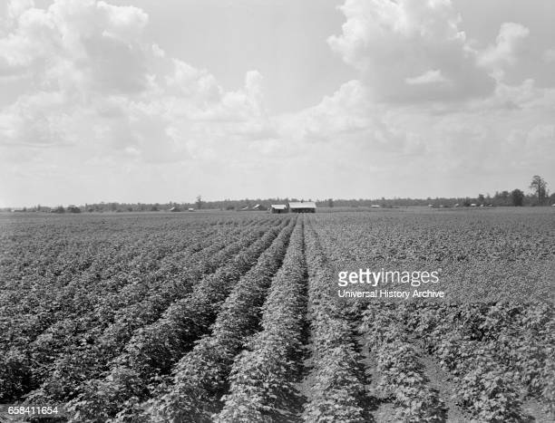 Delta Plantation Landscape near Wilson Arkansas USA Dorothea Lange for Farm Security Administration August 1938