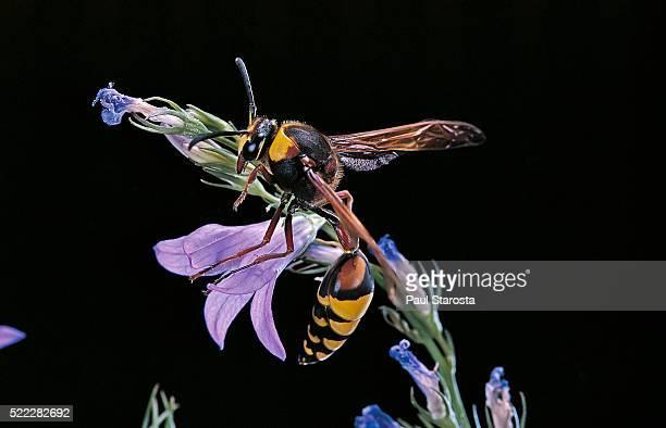delta unguiculatum (mud dauber wasp) - mud dauber wasp stock pictures, royalty-free photos & images