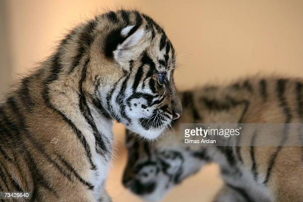 Dema and Manis the 26dayold endangered Sumatran Tiger cubs play together at the 'Taman Safari Indonesia' Animal Hospital on February 26 2007 in...