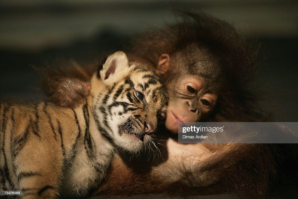 Endangered Sumatran Tiger Cubs Born In Indonesia : News Photo