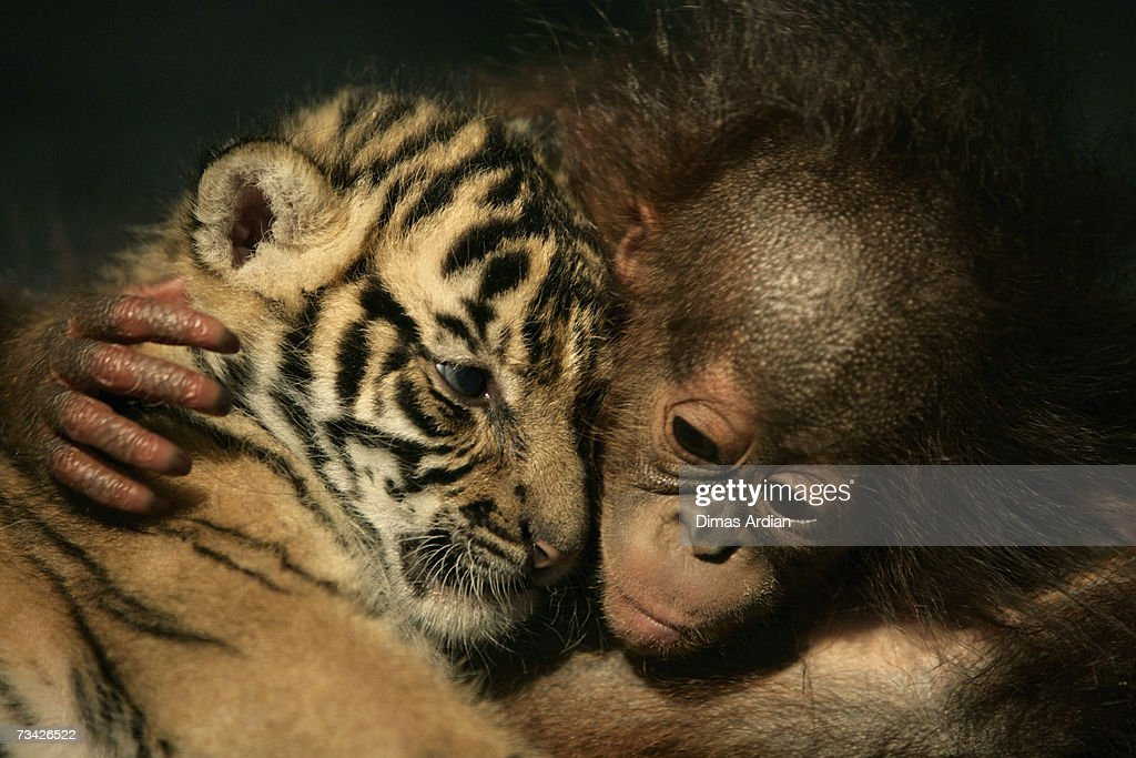 Dema (male) the 26-day-old endangered Sumatran Tiger cub cuddles up to 5-month-old female Orangutan, Irma at the 'Taman Safari Indonesia' Animal Hospital, on February 26, 2007 in Cisarua, Bogor Regency, West Java, Indonesia. Irma and another orangutan have been rejected by their mothers while two Sumatran tiger-cubs (including Dema) also born in the hospital, have also been rejected by their mother Cicis and are being looked after by staff at the Animal Hospital.