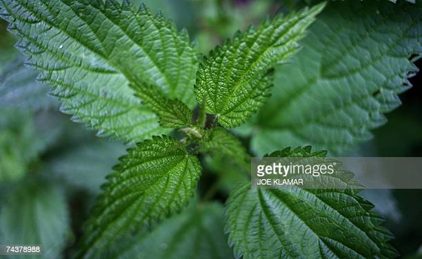 A stinging nettle dries out after a rain on a meadow in the Low Tatra mountain resort of Demanovska Dolina 02 June 2007 AFP PHOTO / JOE KLAMAR