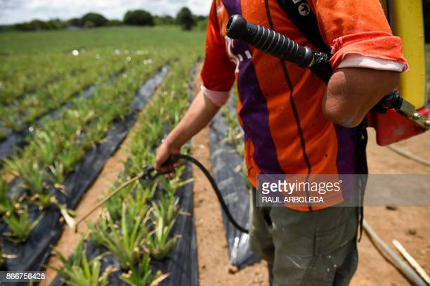 Demobilized FARC member Felix Salcedo who lost his left arm with an antipersonnel mine works in a pineapple cultivation at an unarmed zone known as...