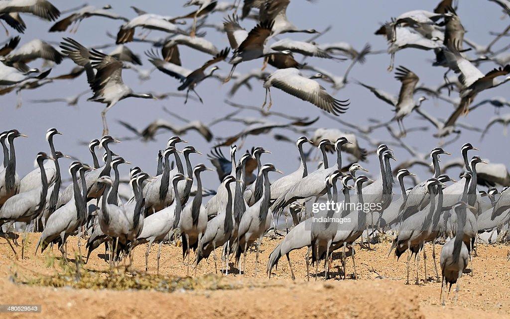 Demoiselle crane at wetland : Stock Photo