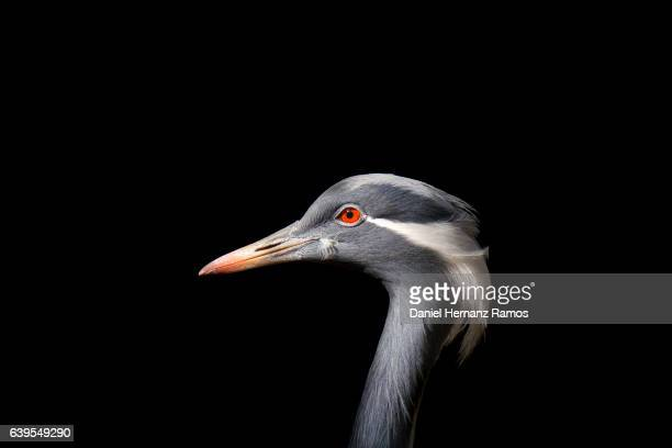 demoiselle crane head close-up with black background side view grus virgo - crane bird stock photos and pictures