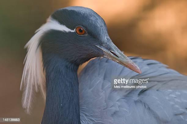 demoiselle crane - bandol photos et images de collection