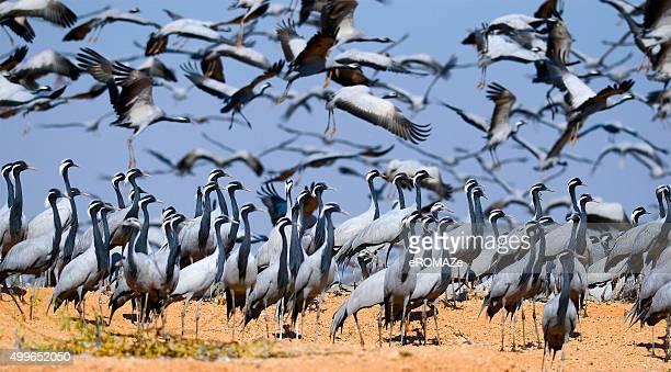 demoiselle cranes - crane bird stock photos and pictures