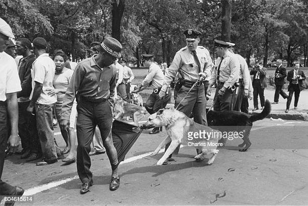 Demonstrator looks back as a police dog, held by an officer with a billy club, tears his trouser leg, Birmingham, Alabama, May 3, 1963. Police...