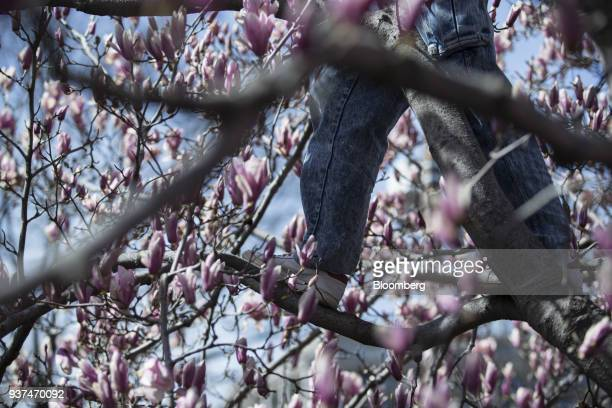 demonstrator stands in a cherry blossom to listen to speeches on Pennsylvania Avenue during the March For Our Lives in Washington DC US on Saturday...