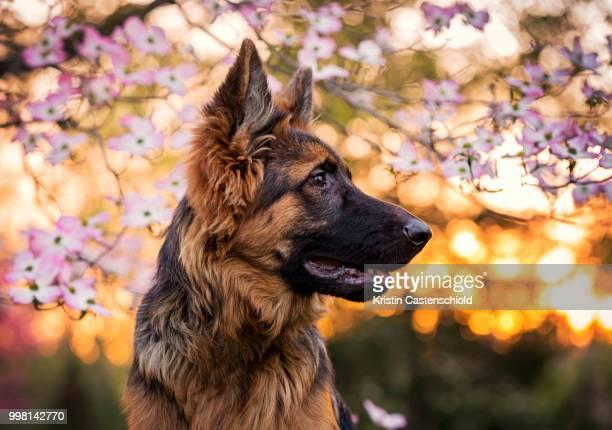 denali - cão pastor alemão - fotografias e filmes do acervo
