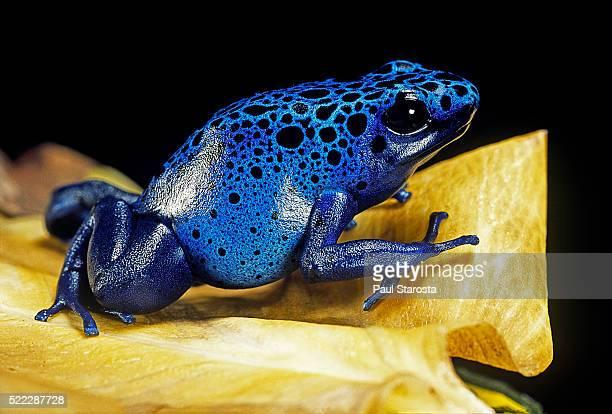 dendrobates azureus (blue poison dart frog) - frog stock pictures, royalty-free photos & images