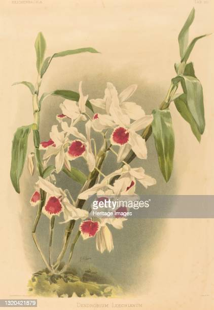Dendrobium Leechianum. Artist Joseph Mansell.