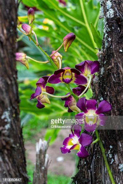 dendrobium nobile - crmacedonio photos et images de collection