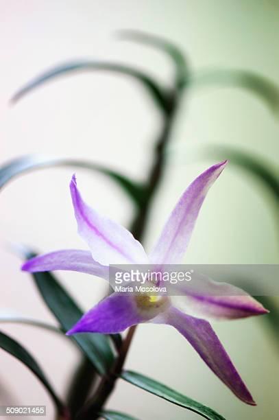 Dendrobium Orchid moniliforme 'Nanki'