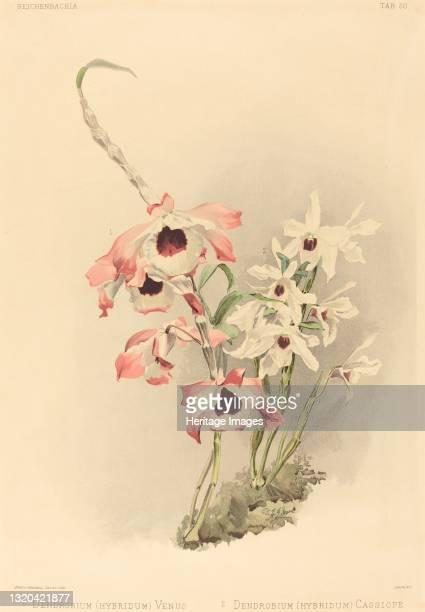 Dendrobium Venus and Dendrobium Cassiope. Artist Joseph Mansell.
