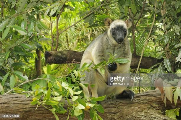 Dendrolague de Lumholtz ou kangourou arboricole Plateau d'Atherton Queensland Australie