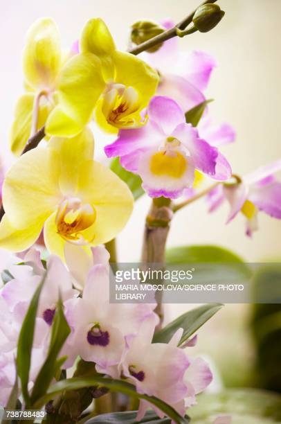 Dendronium nobile and phalaenopsis orchids