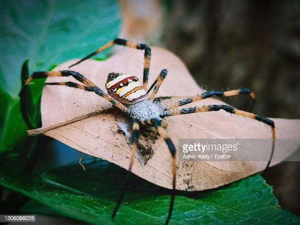 a dengerous big spider sit on a leaf, dengerous spider closeup macro photography - spider rock stock pictures, royalty-free photos & images