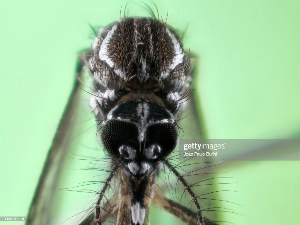 Dengue mosquito (Aedes aegypti, yellow fever mosquito) : Stock Photo