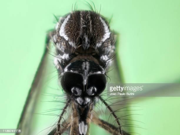 dengue mosquito (aedes aegypti, yellow fever mosquito) - ネッタイシマカ ストックフォトと画像
