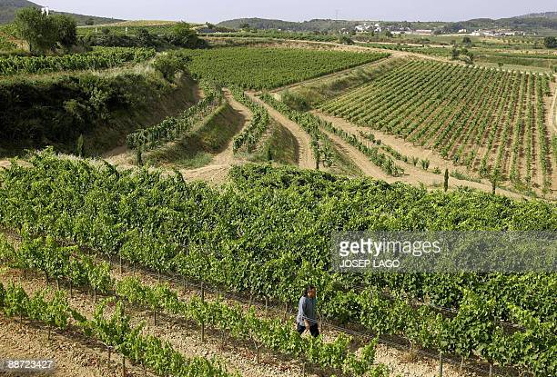 Denholm Barnetson Spanish vintner Josep Maria Albet i Noya walks through his vineyard on June 25 2009 in Sant Pau d'Ordal near Barcelona As a...