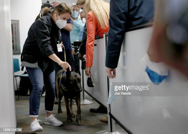 Denise Webb handles Cobra, a Belgian Malinois, as the dog prepares to sniff masks for the scent of COVID-19 at Miami International Airport on...