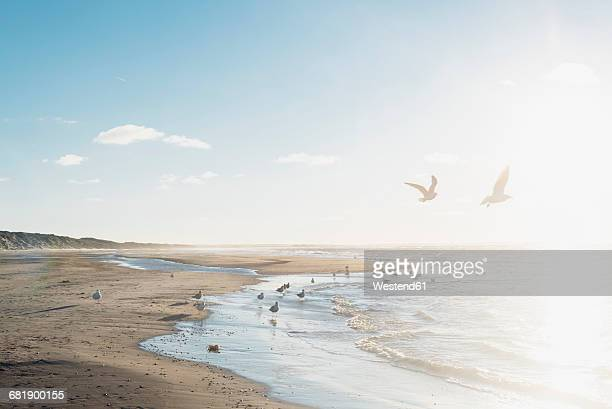 Denmark, Blokhus, flock of seagulls on the beach