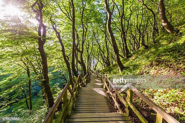 denmark, mon island, mons klint, wooden path in forest - selandia fotografías e imágenes de stock