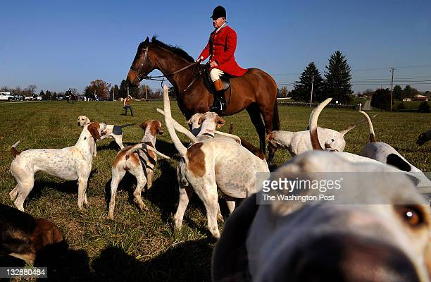 Dennis Downing Huntsman for the Blue Ridge Hunt is surrounded by foxhounds as members meet for a fox hunt