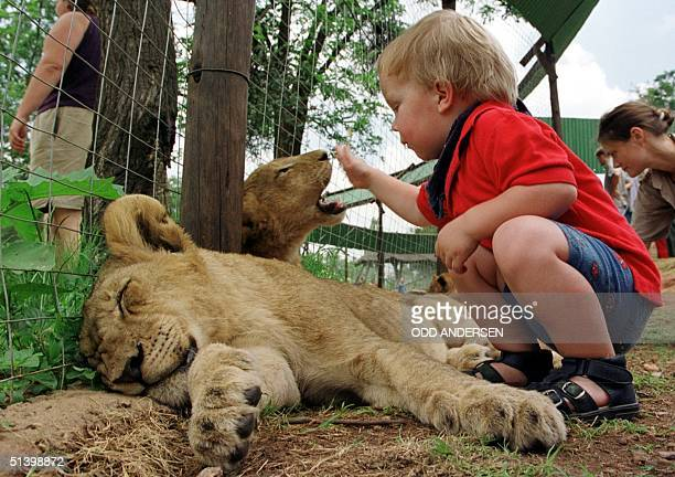Dennis plays 19 January 2000 with two sixmonth old lion cubs at a lionpark in Lanseria some 25 km west of Johannesburg The toddler spent the day with...