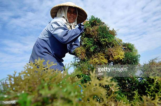 Denpasar, Bali, INDONESIA: A farmer collects seaweed from a field in Denpasar, on Bali island, 13 June 2007. Indonesia is particularly vulnerable to...