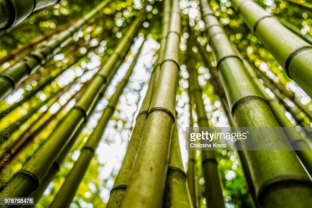 dense bamboo forest, lisbon, lisboa region, portugal - bamboo stock photos and pictures