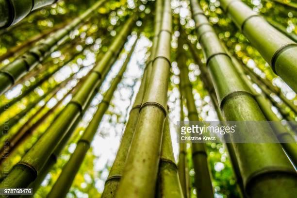 Dense bamboo forest, Lisbon, Lisboa Region, Portugal