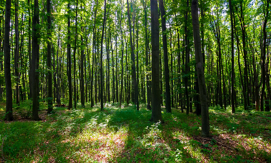 dense beech forest with tall trees 938262422