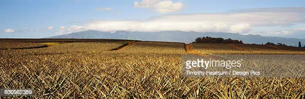 dense field of pineapple plants before fruit has developed, maui mountains in the background - timothy hearsum stock pictures, royalty-free photos & images