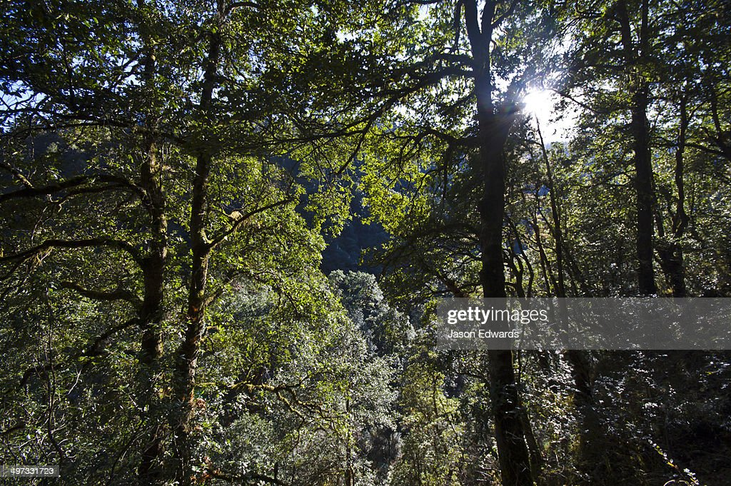 A dense forest canopy filters dappled green light onto a mountainside near a Buddhist monastery. & A Dense Forest Canopy Filters Dappled Green Light Onto A ...