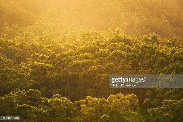 A dense forest of Eucalyptus trees at sunset, South West National Park, Tasmania, Australia