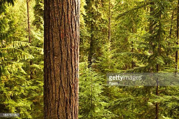 forêt dense bois - tronc d'arbre photos et images de collection
