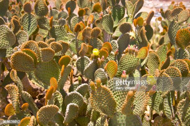 dense massing of flowering prickly pear cactus near phoenix, az - sonoran desert stock pictures, royalty-free photos & images